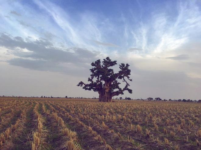 Baobab Tree, near Gusau, Zamfara