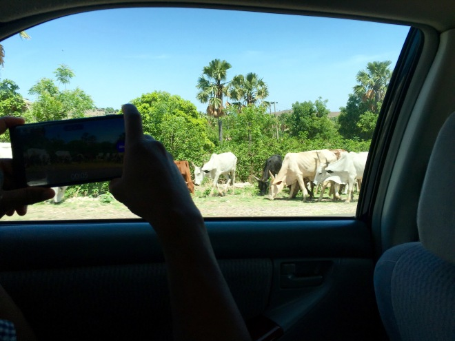 Cattle grazing along Numan - Gombe Road, Gombe